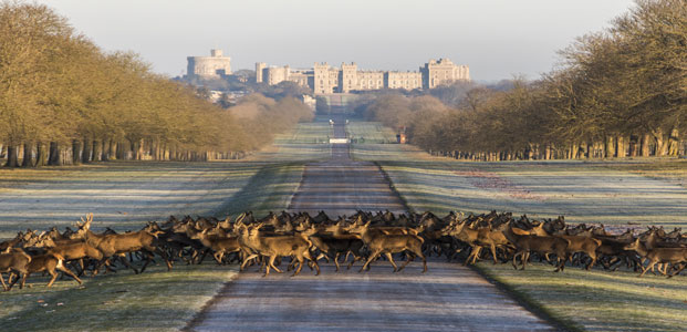 deer crossing the road with royal Windsor Castle in the distance