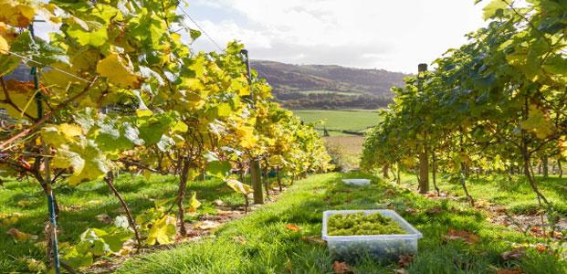 Conwy Vineyard
