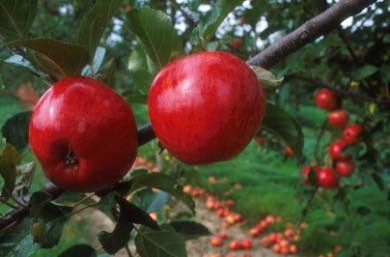 Herefordshire-apple-orchard