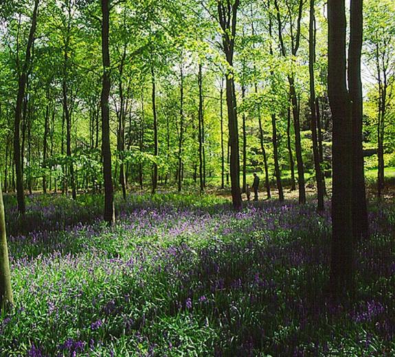 Queenswood-bluebells